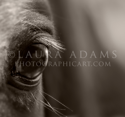 Whisper by Michigan Professional Horse and Equine Photographer Laura Adams