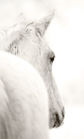 White Mare by Michigan Horse Photographer Laura Adams