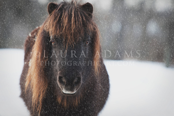 The Bearded Mini by Michigan Professional Equine Photographer Laura Adams